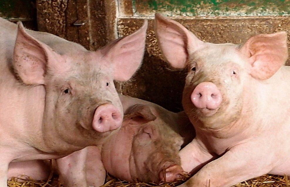 Les eurodéputées socialistes français demandent la fin de l'embargo sanitaire russe sur le porc européen
