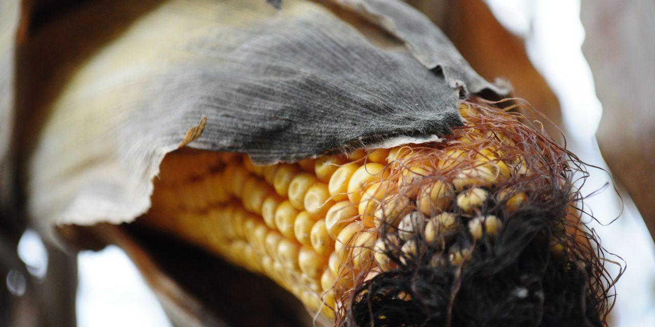 OGM : Que la commission en prenne de la graine!