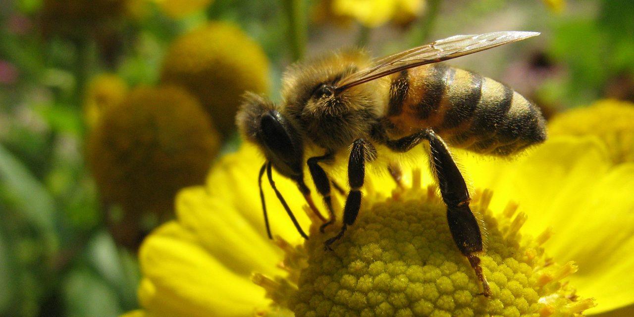 Néonicotinoïdes tueurs d'abeilles : le Gouvernement Macron doit assumer ses choix, l'Europe ne servira pas de bouc-émissaire !